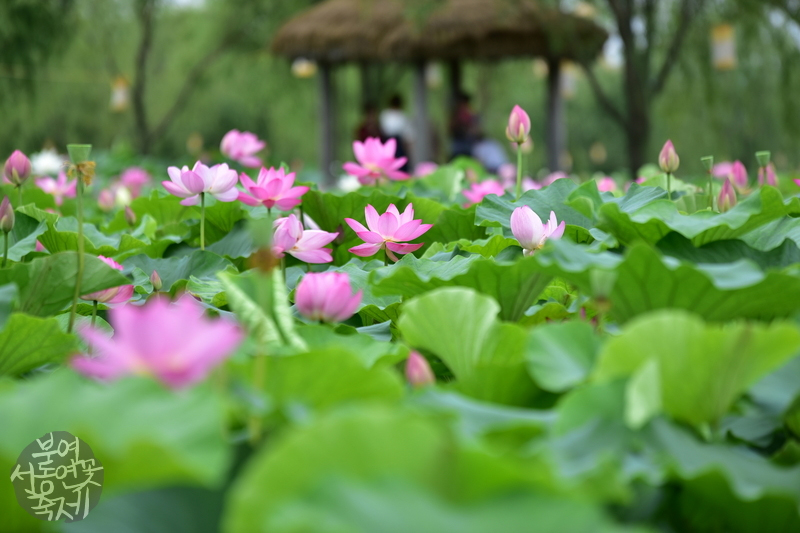 buyeo seodong lotus festival  koreatourinformation, Beautiful flower