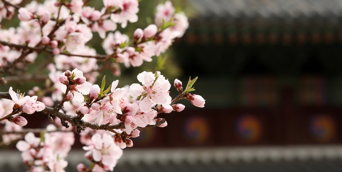 cherryblossom_article_01