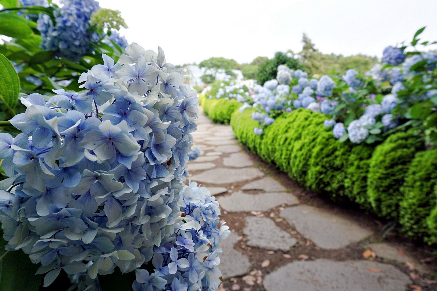 The Hydrangeas Are In Bloom Camellia Hill During Summer Season