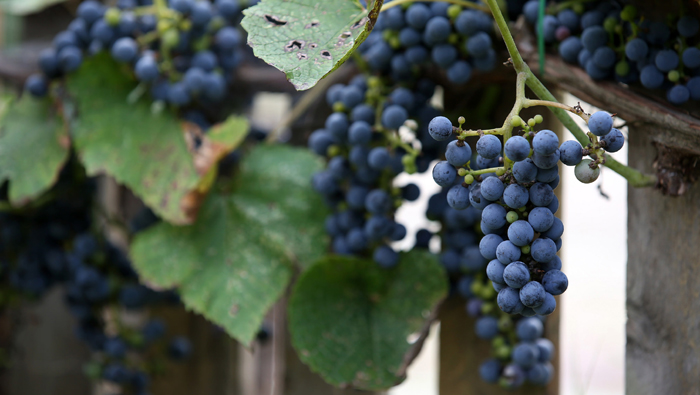 Seo_Wild_Grapes_Wine_05